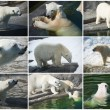 polar bears — Stock Photo