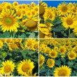 Sunflowers — Stock Photo #36506425