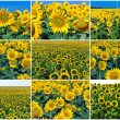 Sunflowers — Stock Photo #36649755
