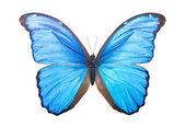 Butterfly Morpho Didius — Stock Photo