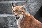 Lynx — Stock fotografie