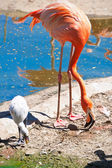 Flamingo — Stock fotografie