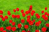 Flores de tulipán — Foto de Stock