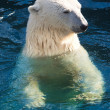 Polar bear — Stock Photo #36969919