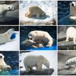 lední medvědi — Stock fotografie
