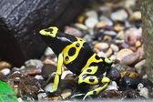 Dendrobates frog — Stock Photo