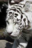 Tigre bianca — Foto Stock
