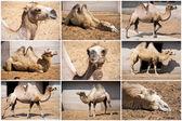 Camel — ストック写真