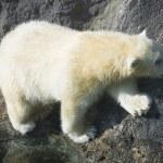 Polar bear — Stock Photo #37567195