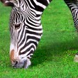 Zebra — Stock Photo #37567299