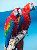 Papoušek ara — Stock fotografie