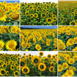 Sunflowers — Stock Photo #37697125