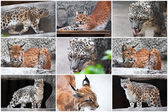 Lynx and Snow Leopard — Stock Photo