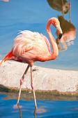Flamingo — ストック写真