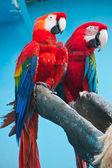 Ara parrot — Stock Photo