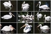 пеликан — Стоковое фото