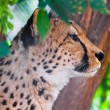 Cheetah — Stock Photo #38072097