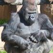 Gorilla — Stock Photo #38072141