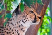 Cheetah — Foto de Stock