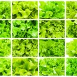 Lettuce — Stock Photo #38410847