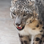 Snow Leopard — Stock Photo #38411275