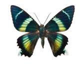 Butterfly Alcides argathyrsus — Stock Photo