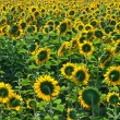 Sunflowers — Stock Photo #38848657