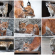 Lynx and Snow Leopard — Stock Photo #38848895