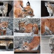 Lynx and Snow Leopard — Foto de Stock   #38848895