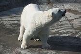 Polar bear — Stock Photo