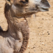 Stock Photo: Camel