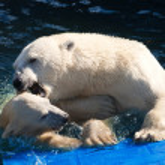 Polar bear — Stock Photo #39094055