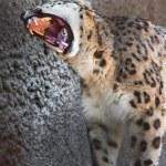 Snow Leopard — Stock Photo #39094465