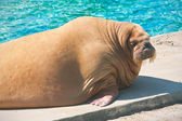 Walrus — Stock Photo