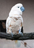 Cockatoo parrot — Stock Photo