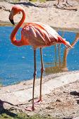 Flamingo — Stock Photo