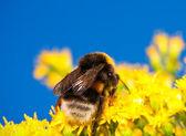 Bumblebee — Zdjęcie stockowe