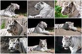 Biały tygrys — Zdjęcie stockowe