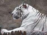 Tigre blanc — Photo