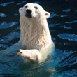 Polar bear — Stock Photo #39364715