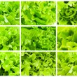 Lettuce — Stock Photo #39364767