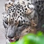 Snow Leopard — Stock Photo #39364871