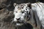 白虎 — ストック写真