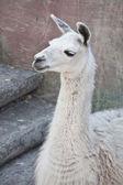 Llama — Стоковое фото