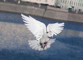 White pigeon — Stock Photo