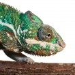 Panther chameleon — Stock Photo