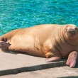 Walrus — Stock Photo #39684931