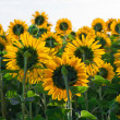 Sunflowers — Stock Photo #40147983