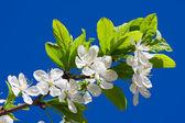 Flores de apple — Foto de Stock