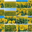 Sunflowers — Stock Photo #41088771
